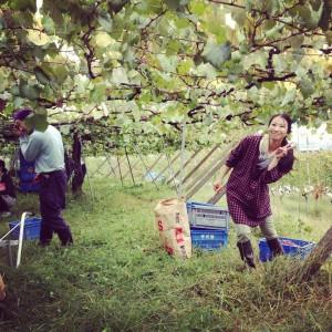 葡萄の収穫の画像