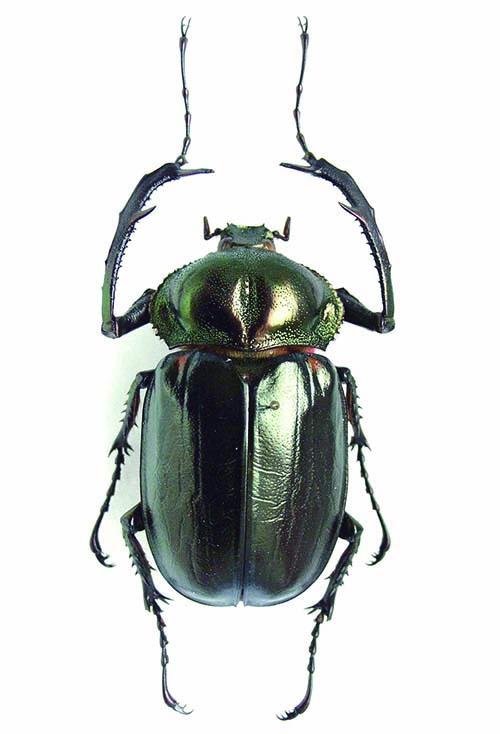 ヤンバルテナガコガネ(ホロタイプ標本) ©国立科学博物館
