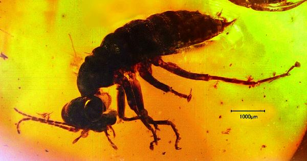 琥珀に閉じ込められた、絶滅目のアリエノプテラ目