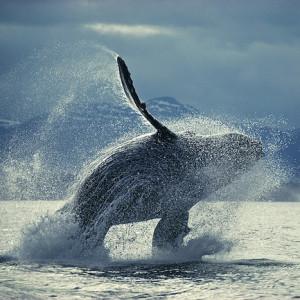1_ザトウクジラのブリーチング_033-S-0018s のコピー
