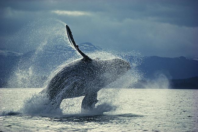 ザトウクジラのブリーチング 撮影:星野道夫 ©Naoko Hoshino