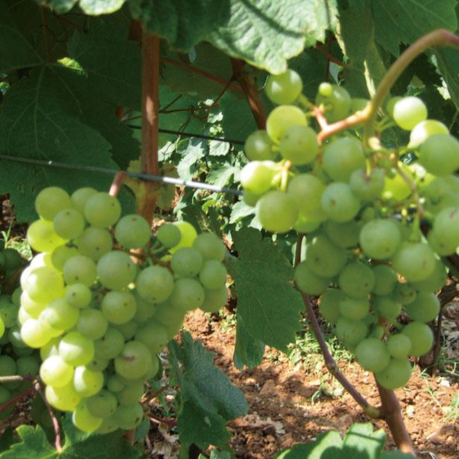 ヴォドピーヴェッツの畑に実ったヴィトフスカのブドウ。