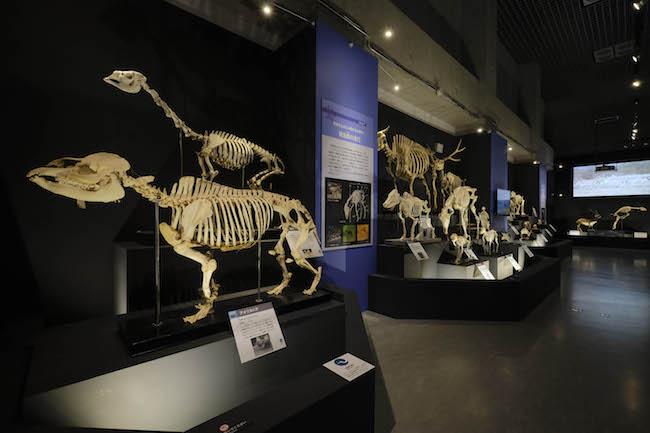 草食獣の全身骨格の展示