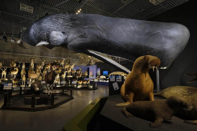 マッコウクジラの展示(模型面)