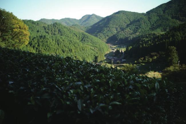 佐賀県・嬉野の茶畑。