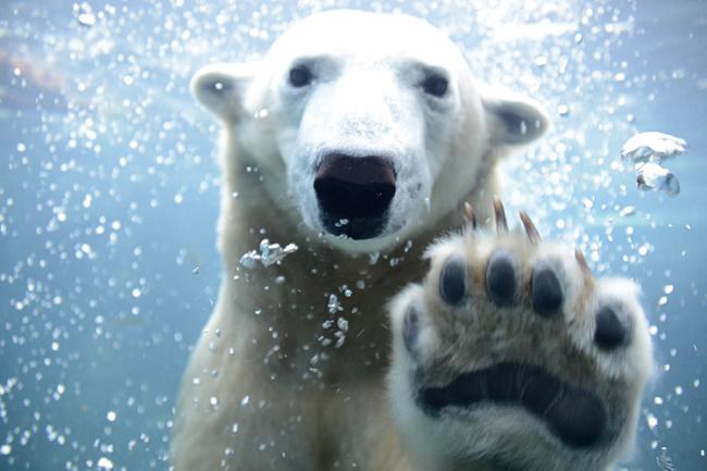 2003年以降、6頭の赤ちゃんが誕生しているホッキョクグマ。現在は旭山動物園で暮らす人気者ピリカも円山動物園生まれ。