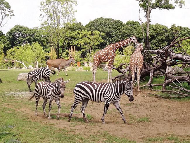 キリンやチーターなどが共存する「アフリカのサバンナ」ゾーン。