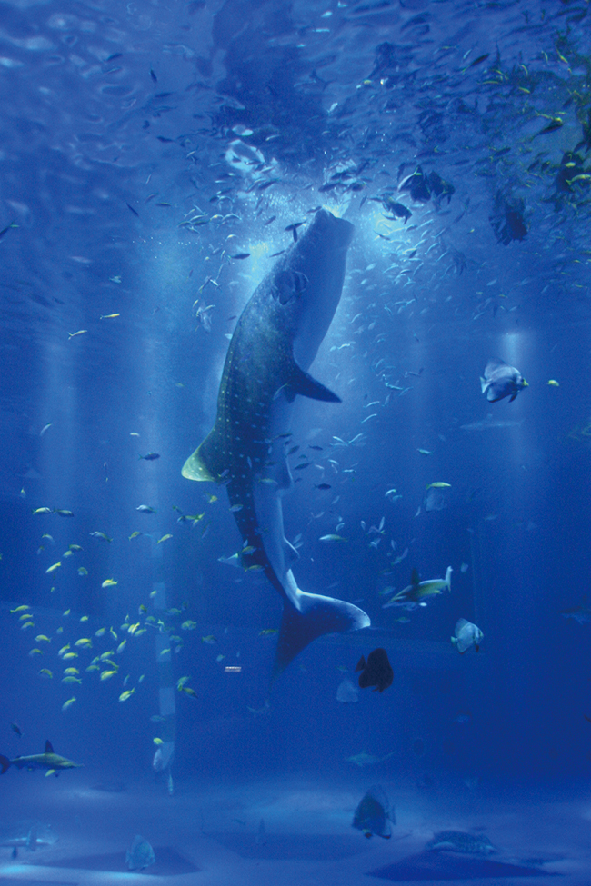 大きな水槽で泳ぐ「のとじま水族館」のジンベエザメ。