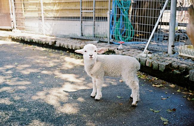 前月に生まれたばかりの羊の赤ちゃん。垂れ耳なことからタレ子と命名。