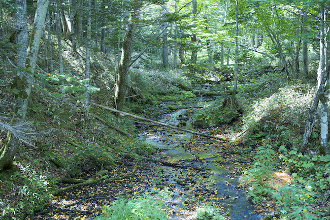 「光の森」にて、谷地(やち)と呼ばれる湿原。地形に応じて植生が変わり、豊かな多様性を湛えた森が広がる。 Photo: Tomoaki Okuyama
