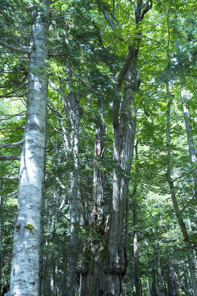「光の森」にて、樹齢推定800年以上といわれる桂の巨木。 Photo: Tomoaki Okuyama