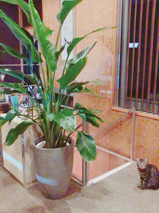 最近見つけた幸せ時間は、園芸タイムです。植栽を増やしたことで、土を入れ替えたり水やりをしたり、大事に育てています。階段上には存在感のあるオーガスタを。愛猫ベニも大喜び。
