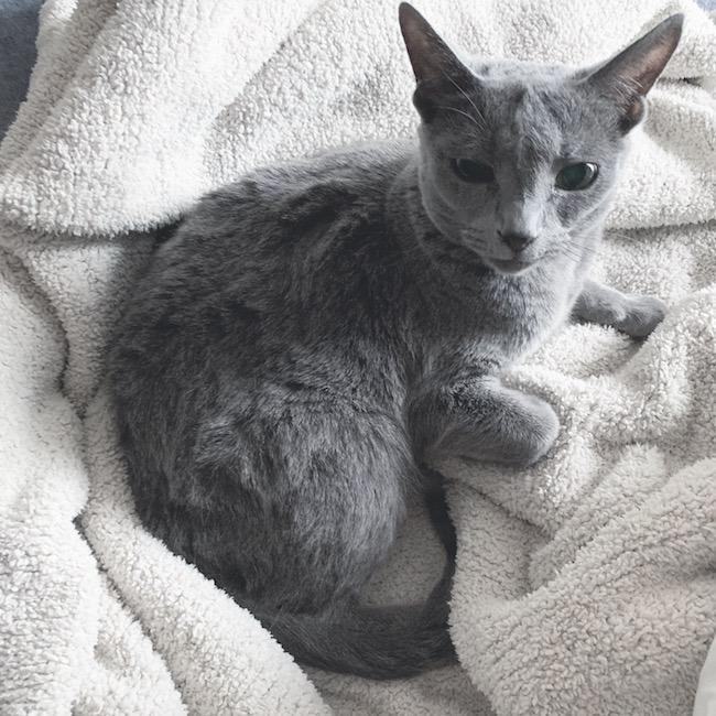 ロシアンブルーの美猫ベジータ、推定8歳。