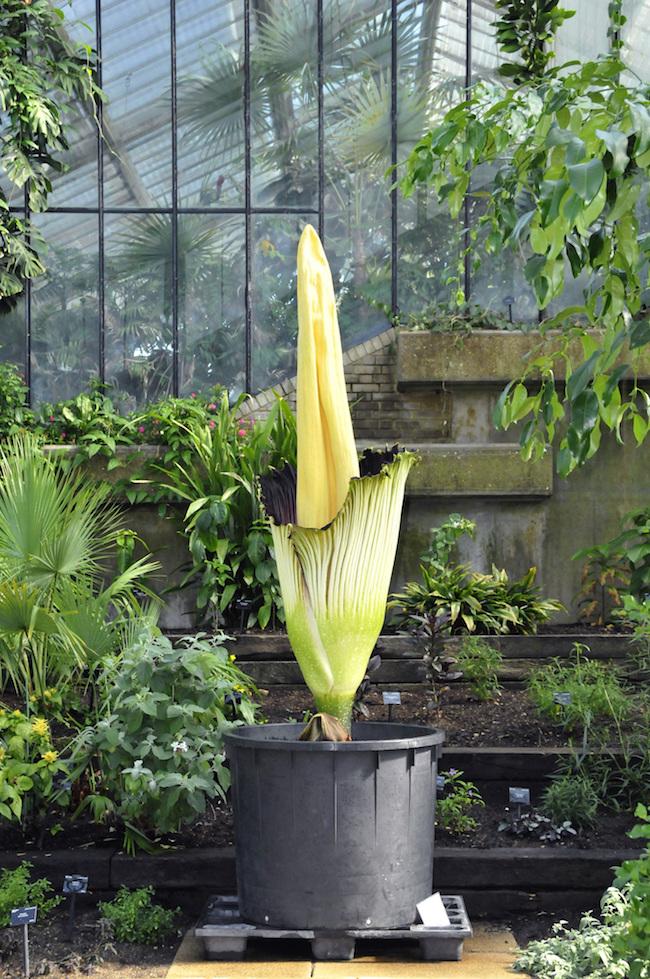2020年1月18日、国立科学博物館 筑波実験植物園で開花し話題となったショクダイオオコンニャク。キュー王立植物園では、原産地(スマトラ島)以外での初めての開花を1889年に記録。 ©RBG Kew