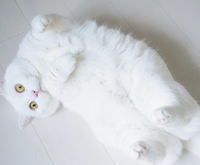4歳を迎えた雌猫のおもち。丸い耳と短い足がチャームポイントのマンチカンという種類。人見知りしないフレンドリーな性格で、綿棒で遊ぶのが好き。