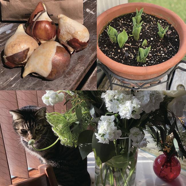 昨年の秋、JIMMY CHOOさんからいただいた球根を植えたら、しっかりと芽吹いてきました。かわいい!! 花を飾ったり、愛猫と戯れたり、球根を育てたり・・・私がご機嫌になる時間です