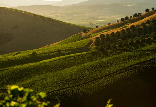 クズマーノ シャマリスのためのモンテピエトローゾにあるブドウ畑
