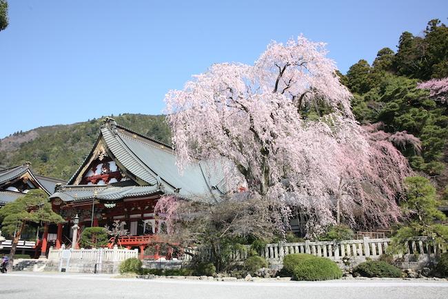 身延山久遠寺 祖師堂としだれ桜
