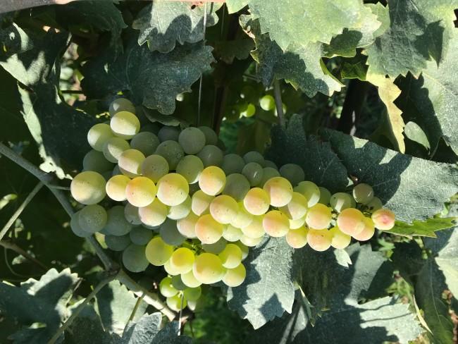 ピエロパンの畑で実るブドウ